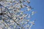 Apfelbaum in der Blüte
